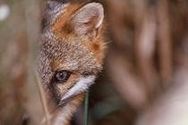 Swamp Fox by Danita Delimont