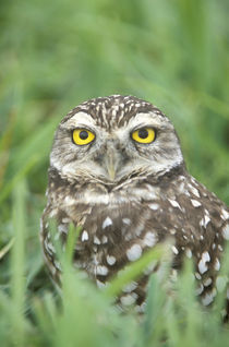Burrowing Owl (Athene cunicularia) by Danita Delimont