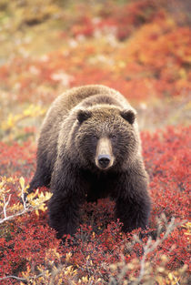 Female Grizzly Bear foraging red alpine blueberries in tundra by Danita Delimont