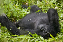 Adult Mountain Gorilla (Gorilla gorilla beringei) resting in tall grass at edge of rainforest by Danita Delimont