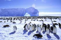 Emperor Penguins (Aptenodytes forsteri) von Danita Delimont