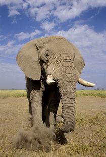 Male elephant ('Loxodonta africana') by Danita Delimont