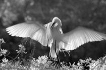 Great Egret (Ardea alba) infrared image von Danita Delimont