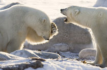 Two polar bears share a joke von Danita Delimont