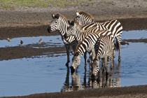 Zebras drinking at Ndutu in the Ngorongoro Conservation Area by Danita Delimont