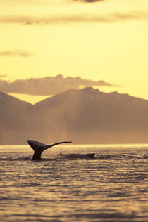 Inside Passage Humpback whale at sunset by Danita Delimont