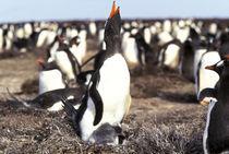 Gentoo Penguins (Pygoscelis papua) by Danita Delimont
