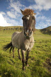 Frontal view of Icelandic horse next to barbed-wire fence by Danita Delimont