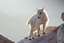 Close-up of young mountain goat kid backlit on rock by Danita Delimont