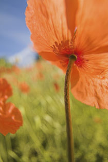 Fire Poppies Growing in the Palouse Region of Washington State by Danita Delimont