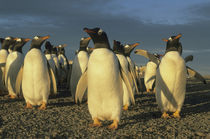 Colony of gentoo penguins in late afternoon light by Danita Delimont