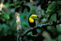 Keel-billed Tucan in tree (Ramphastos sulfuratus brevicarinatus) by Danita Delimont