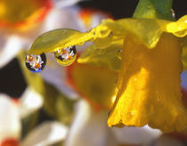 Close-up of dewdrops clinging to petal of daffodil flower in springtime by Danita Delimont