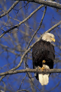 A bald eagle perches in a tree on a cool spring morning by Danita Delimont