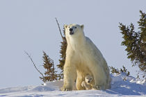 Polar bear cub being protected by mother by Danita Delimont