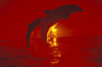 Bottlenose dolphins (Tursiops truncatus); shot with red filter by Danita Delimont
