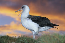 Laysan albatross at sunset von Danita Delimont