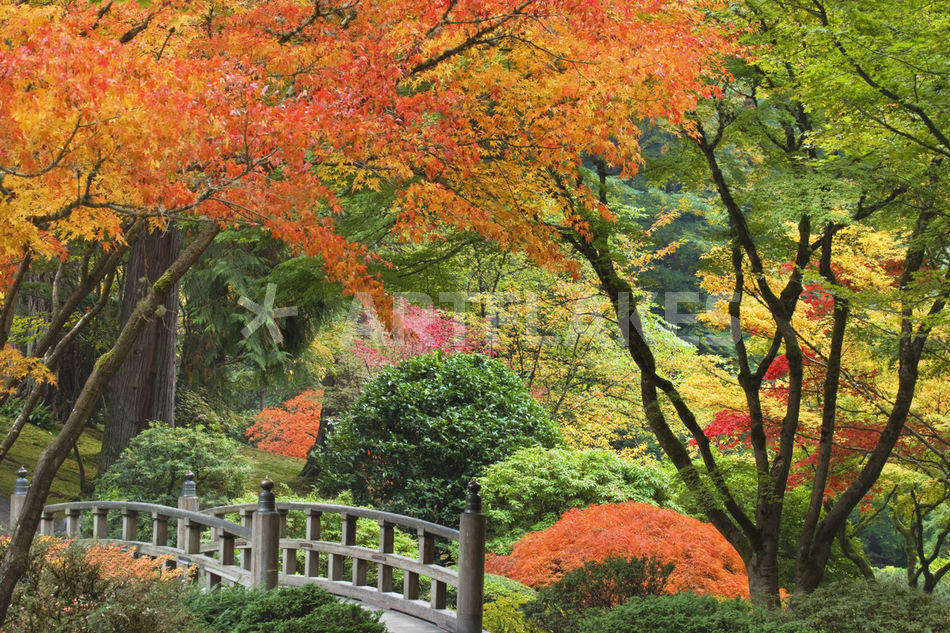 Wooden bridge and maple trees in autumn color at portland for Japanese garden colors