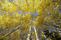 Stevens Pass Fall-colored aspen trees (Populus tremuloides) by Danita Delimont
