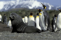 Antarctic fur seal (Arctocephalus gazella) and penguins by Danita Delimont