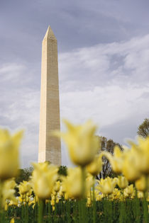 The Washington Monument as seen through yellow tulips by Danita Delimont