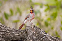 Male pyrrhuloxia bird on log von Danita Delimont