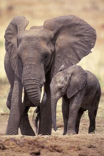 African elephants (Loxodonta africana) by Danita Delimont