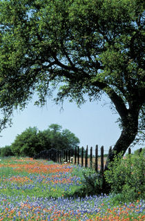 Texas Hill Country Paintbrush and bluebonnets von Danita Delimont