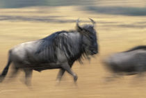 Blurred image of Wildebeest (Connochaetes taurinus) crossing savanna in migration by Danita Delimont