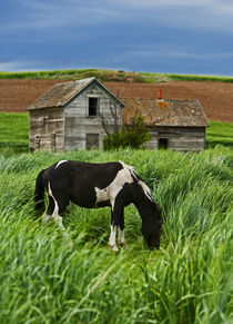 Viewing horses in a field in the Palouse southwest of Colfax in Washington State by Danita Delimont