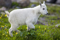 Mountain goat kid at Logan Pass in Glacier National Park in Montana by Danita Delimont