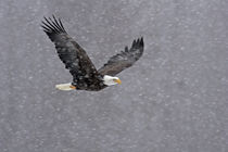 Bald eagle flying through snowstorm von Danita Delimont