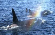 Orcas (Orcinus orca) by Danita Delimont