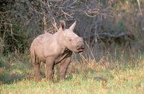 White Rhinoceros young von Danita Delimont