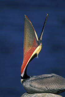 Side view of brown pelican doing a head throw with wide pouch by Danita Delimont