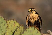Aplomado falcon (c) von Danita Delimont