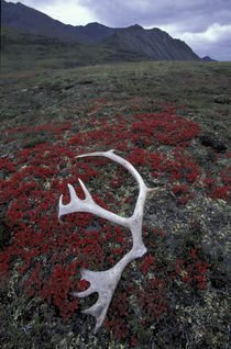 Caribou antler lies amid alpine bearberry in the Northern Brooks Range by Danita Delimont