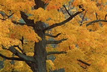 Close-up of sugar maple tree in autumn von Danita Delimont