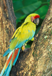 Great Green Macaw by Danita Delimont