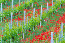 Colorful red poppies in vineyard by Danita Delimont