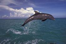 Bottlenose dolphin (Tursiops truncatus) by Danita Delimont