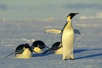 Emperor penguins tobogganing von Danita Delimont