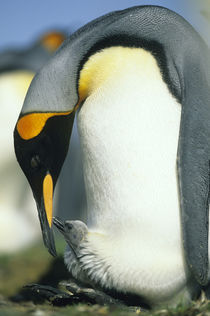 King penguin feeds chick by Danita Delimont