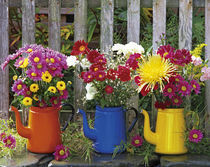 Antique enamelware coffeepots filled with variety of fresh-cut chrysanthemums by Danita Delimont