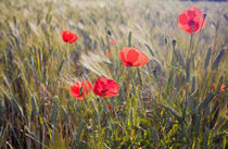 Summer Poppies and Wheat in Tuscany by Danita Delimont