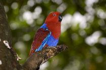 Female Eclectus Parrot by Danita Delimont