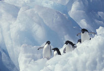 Adelie penguins by Danita Delimont