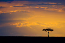 Sunrise silhouettes small acacia tree by Danita Delimont