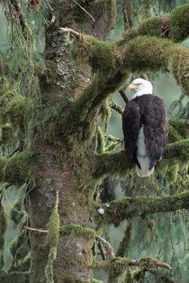 Southeast Alaska Bald eagle (Haliaeetus leucocephalus) in tree by Danita Delimont
