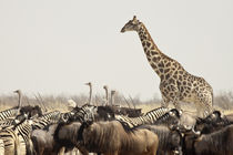 A lone giraffe stands tall above the many animals at a waterhole von Danita Delimont